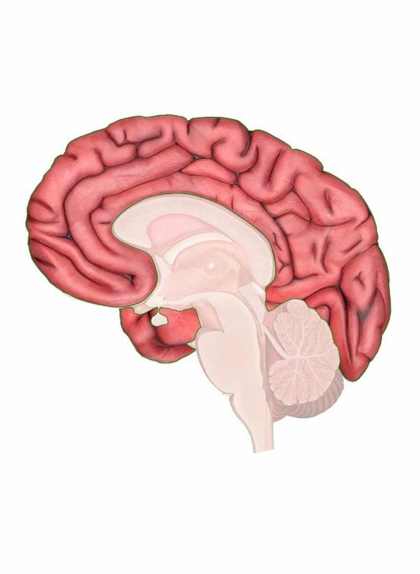 Where is the cerebrum in the brain? - Quora