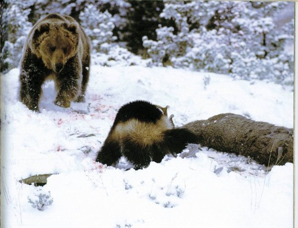 which animal would win in a battle between a wolverine and