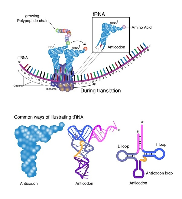 What are the functions of rRNA, tRNA, mRNA? - Quora