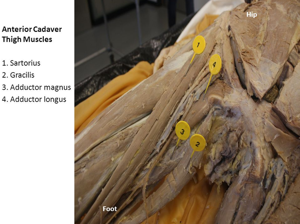 THE QUADRICEP MUSCLES IN THE HORSE (Quads): | Equine ... |Adductor Brevis Cadaver