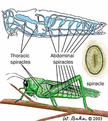 How do insects breathe quora this is your typical grasshopper again in the top picture it shows the respiratory system in blue on caterpillars the spiracles are often visible as small ccuart Choice Image