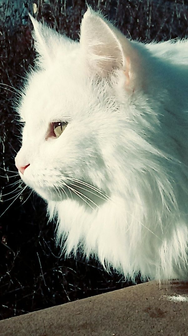 Why Are All White Cats Deaf Quora