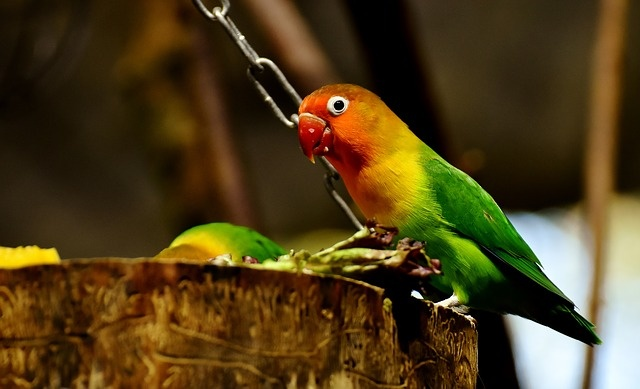 How to determine the type of lovebirds through its colors