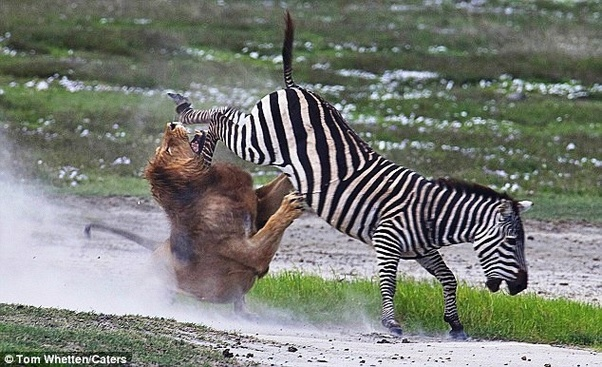 What are some interesting facts about zebras? - Quora