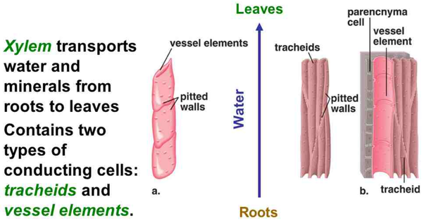What is the function of tracheid cells QuoraXylem Tissue