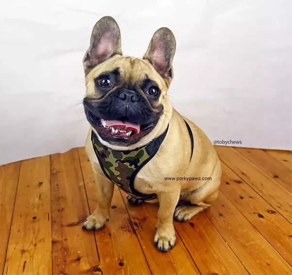 bulldog health issues do french bulldogs have a lot of health problems quora 3516