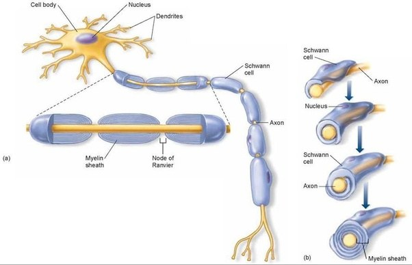 Why is myelination of neurons important quora and increases electrical resistance across the cell membrane the axolemma thus myelination helps prevent the electric current from leaving the axon ccuart Images