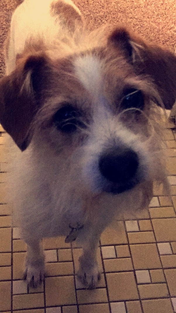 What Are The Character Traits Of A Jack Russel Terrier Mix Quora