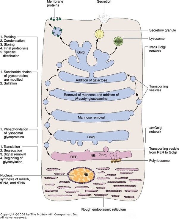 What Is The Difference Between Lysosomes And Golgi Bodies Quora