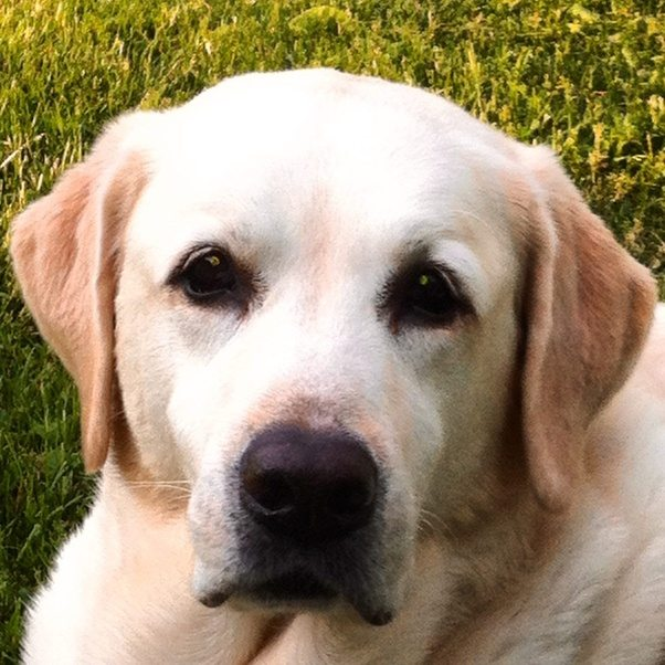 Do yellow labs have blue eyes? - Quora
