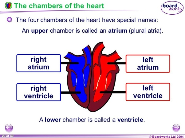 What Are The Four Chambers Of The Heart And Their Functions Quora