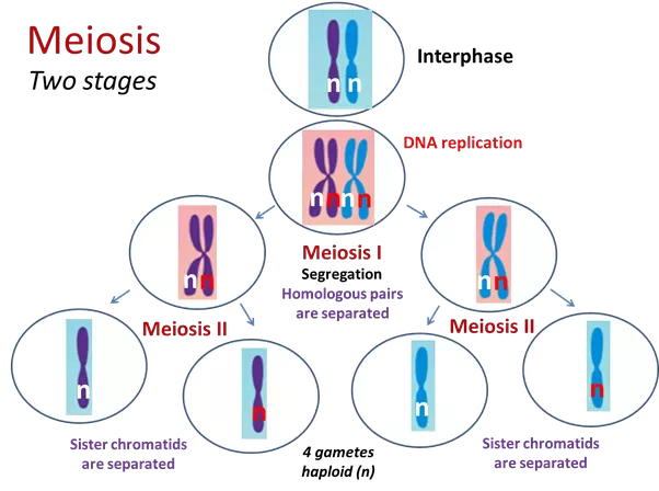 How to explain the process of meiosis ii in a diagram quora here are some of my powerpoint slides on meiosis if anyone would like these and others in ppt format they are fully animated for editing and use ccuart Choice Image