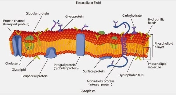 Cell Membrane Color Sheet and Build a Cell Membrane - Activity ...