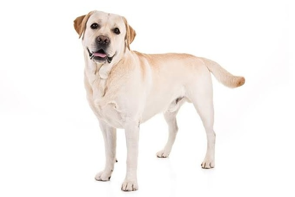 Where can I buy healthy Labradors or German Shepherds puppies in
