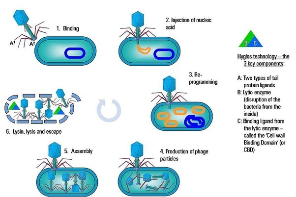 What is the difference between bacteria and viruses quora a detailed flow diagram of how t2 bacteriophage replicates within a bacteria ccuart Choice Image