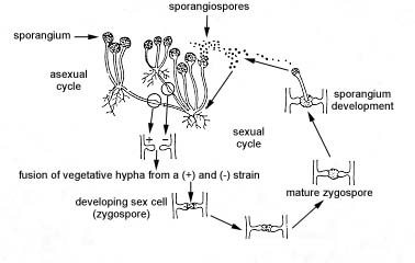 What conditions do sexual and asexual reproduction occur in fungi
