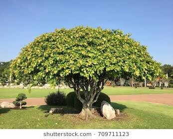 Are Banyan trees and Peepal trees the same? - Quora