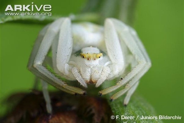 What do i callidentify this species of white spider dangling on my way they open up their front legs as if they are about to clamp on to something they can also come in different colors for different flowers but white mightylinksfo