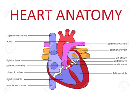 What    diagram    of a human heart  biology  can you make  provide one    Quora