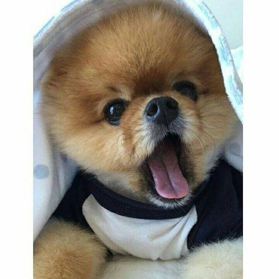 Whats The Little Dog That Looks Like A Bear