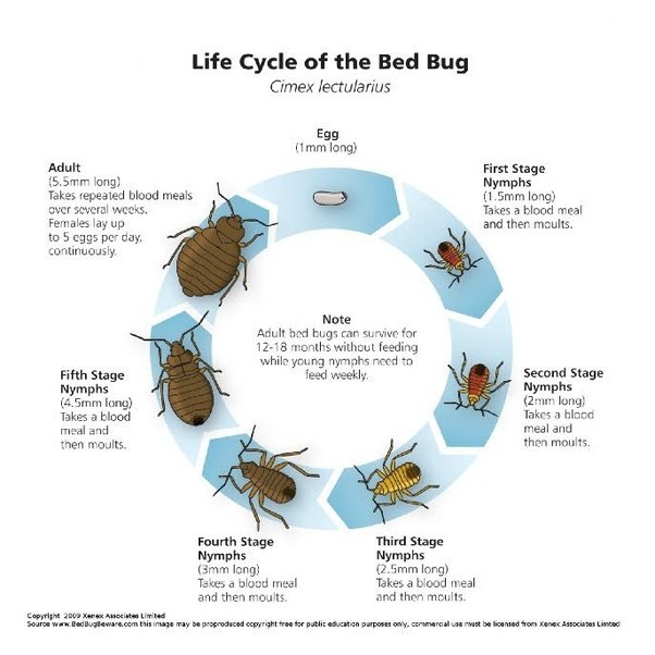 How Long Do Bed Bug Nymphs Live Without Food Food