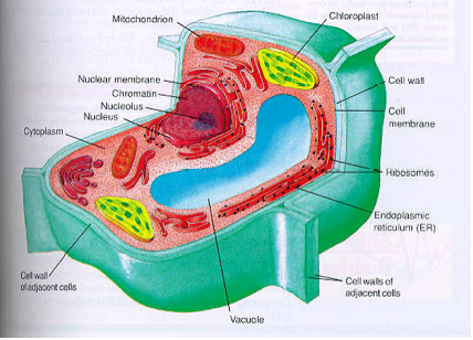 What Is The Difference Between Cell Wall And Cell Membrane Quora