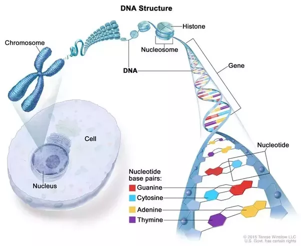 What is the relationship between dna genes and chromosomes quora it is easier to explain with the above picture a chromosome is made of protein and a single molecule of deoxyribonucleic acid dna tightly coiled ccuart Image collections