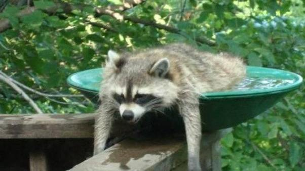 Good This Is Not An Easy Task With A Wild Raccoon And He Will More Likely Go In  A Place Of His Own Choosing.
