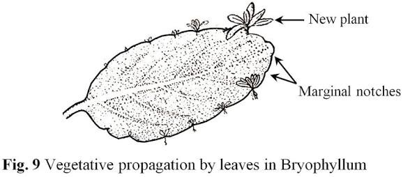 Asexual reproduction in bryophyllum pinnata