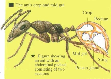 What is it like inside an ant\'s stomach? - Quora