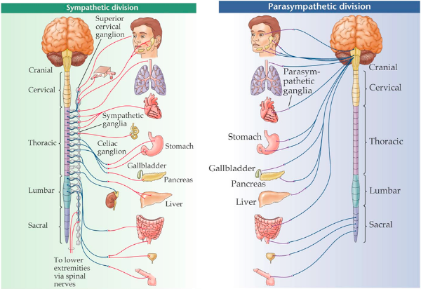 What is a sympathetic nervous system quora the sympathetic nervous system generally activates the body whereas the parasympathetic nervous system primarily acts to relax the body ccuart Choice Image