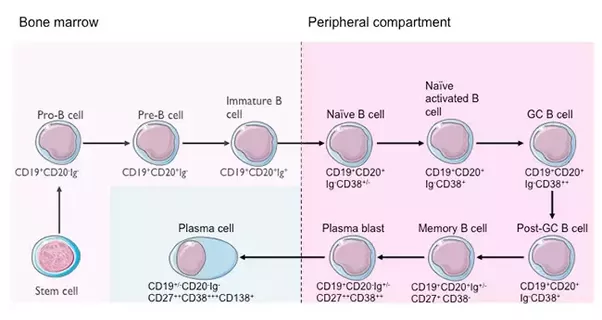 How do plasma cells produce antibodies quora the proliferated b cell produces b cell clones the b cell clones produces two types of cells namely the plasma cells1 and the memory cells publicscrutiny Gallery