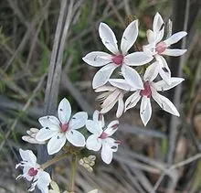 Is there a wild flower known as milk maid quora burchardia umbellata a common white wildflower native to australia is sometimes called milkmaids heres the wikipedia article burchardia umbellata mightylinksfo