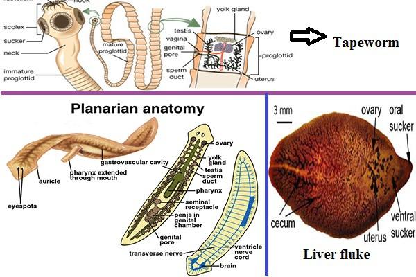 platyhelminthes diploblastic triploblast ce sunt negi genitale și papiloame