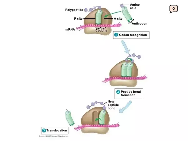 Role of atp in protein synthesis
