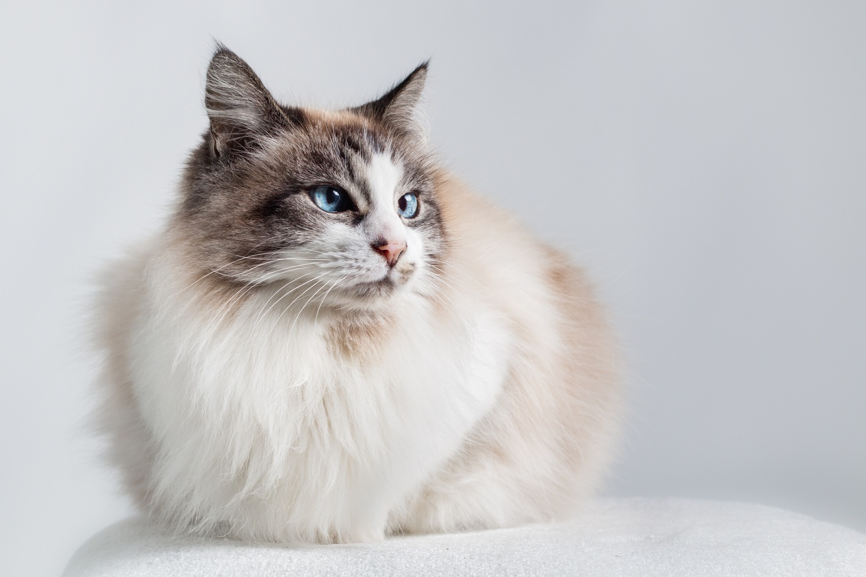 Which is the cuter cat breed: Scottish Fold or Rag Doll? - Quora