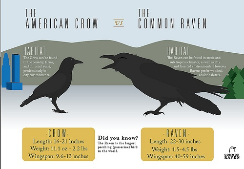 What does it mean when a crow makes a clucking sound and