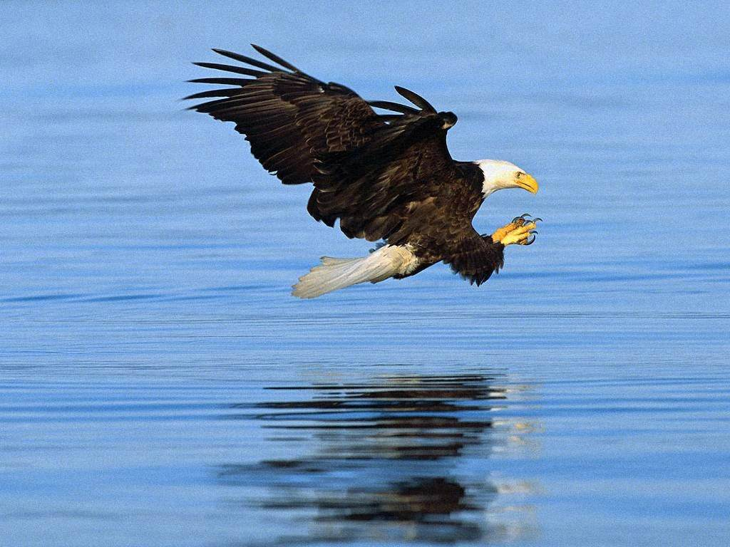 The Bald Eagle Is An American National Emblem
