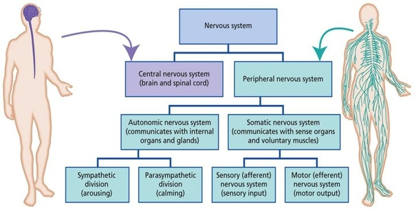 How are spinal nerves and cranial nerves different from ... | 602 x 306 jpeg 59kB