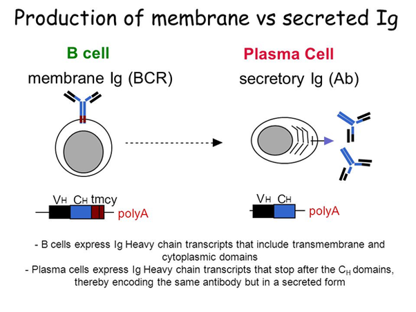 How do plasma cells produce antibodies quora plasma cell wikipedia publicscrutiny Gallery