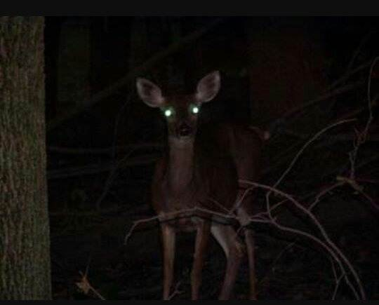 Why Do The Eyes Of The Animals Shine At Night Quora