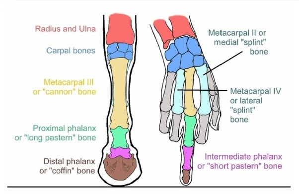 Comparative Anatomy Of Forelimb Of Camel Ox And Horse: How Are Horses And Rhinos More Closely Related Than Horses