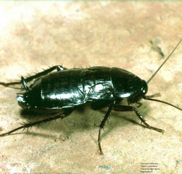 What Are The Differences Between A Roach And A Waterbug