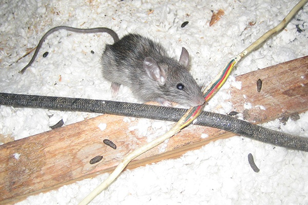 How dangerous are rats? - Quora