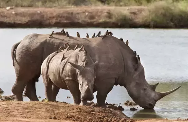 What Are Nine Useful Facts About A Rhino Quora