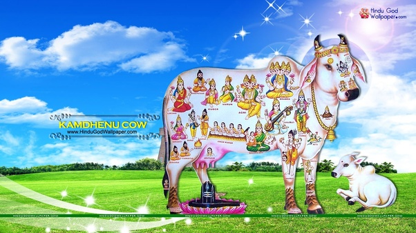 Why Did Lord Krishna Chose The Cow As One Of The Sacred