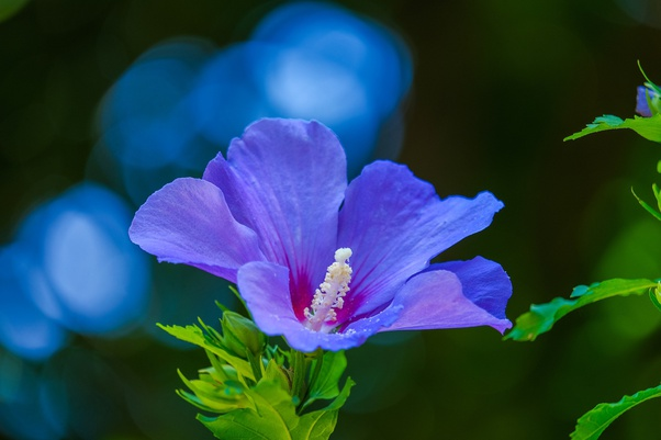 What Are The Special Characteristics Of Hibiscus Flower Quora