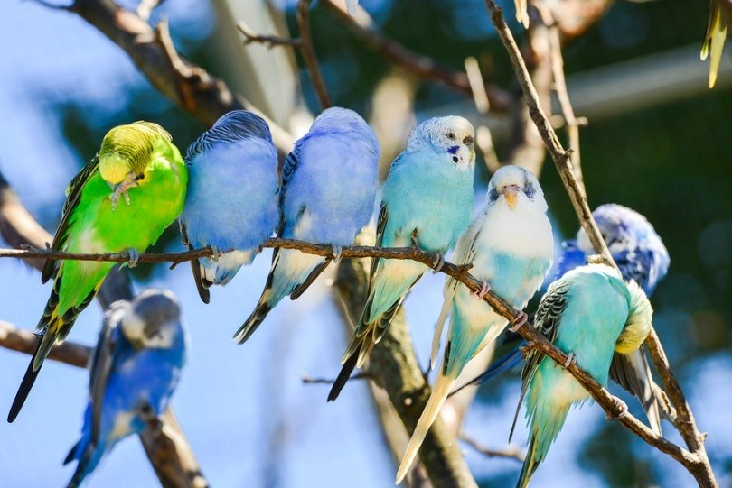How does a cockatiel and parakeet personalities differ? - Quora