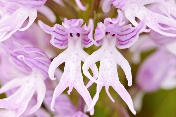 Which flower has the most unusual appearance quora naked man orchid orchis italica photo lifted from 17 flowers that look like something elseimage credit ana retamero mightylinksfo
