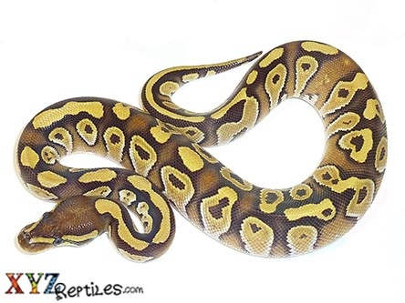 What are some interesting ball python morphs for under $100
